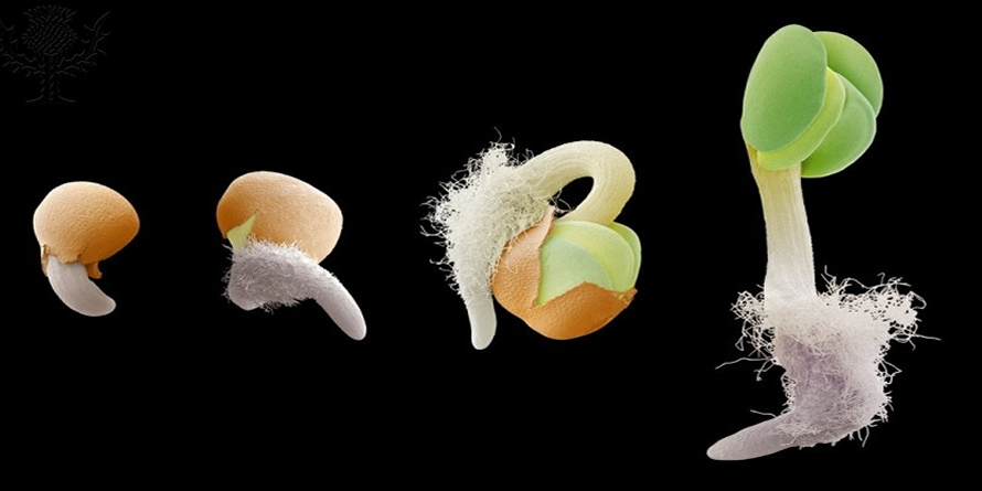 Germinating seed, SEM Germinating seed. Coloured scanning electron micrograph (SEM) of the main stages in the germination of a plant seed. The sequence runs from left to right. The first two images show the emergence of the radicle (white), the embryonic root, from the seed coat (testa, brown). In the third image, the root grows downwards in response to gravity (geotropism), while in the fourth image the embryonic shoot (plumule) grows up against gravity. Its seed leaves (cotyledons, green) will photosynthesise using sunlight. The root 'hairs' will help obtain water and nutrients. This is a swede (Brassica napus) seedling.