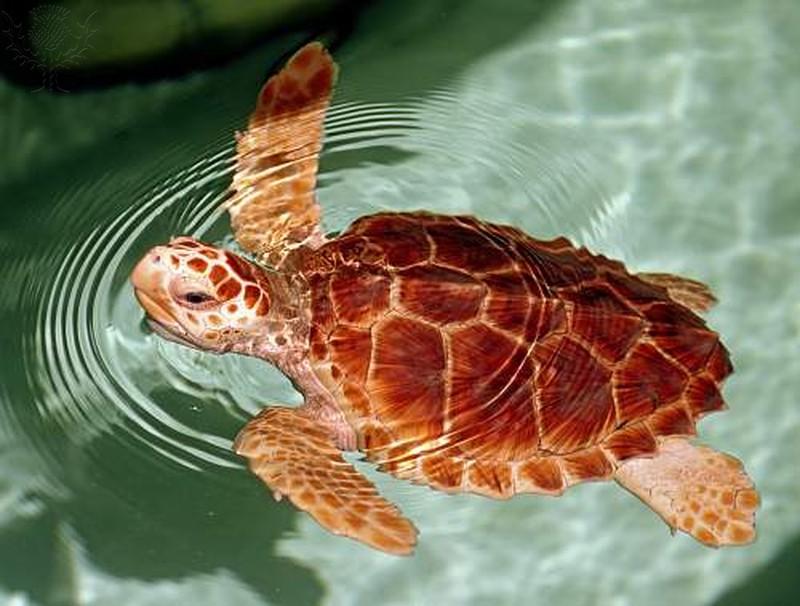 Loggerhead Sea Turtle swimming in shallow water