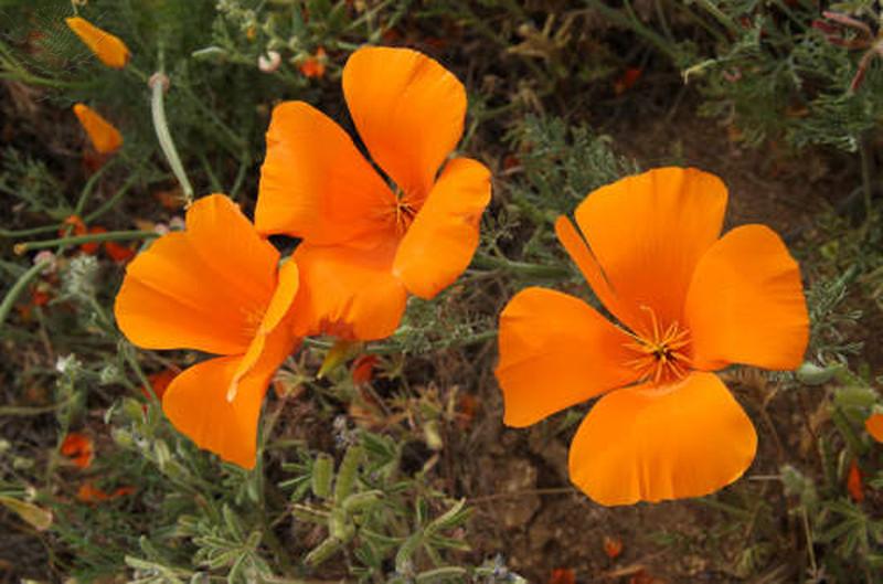 Three California poppy flowers